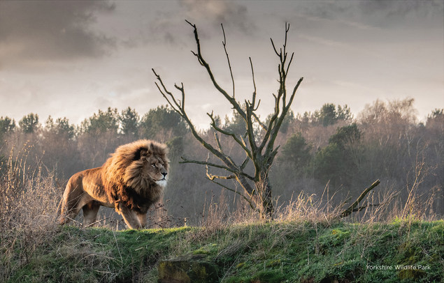A lion at the Yorkshire Wildlife Park