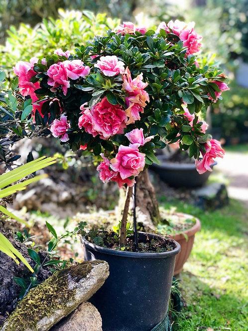 Azaleas para Jardin