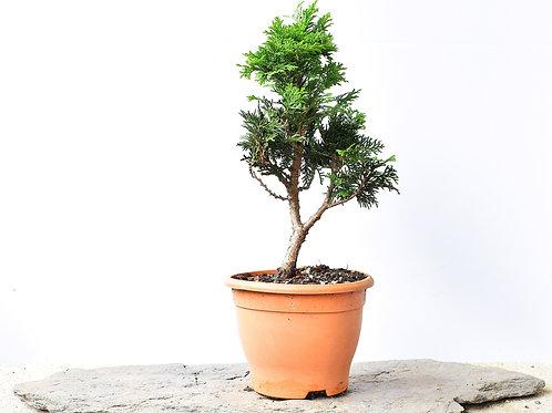 Chamaecyparis nana