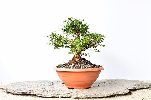 Madre selva (Lonicera Japonica)