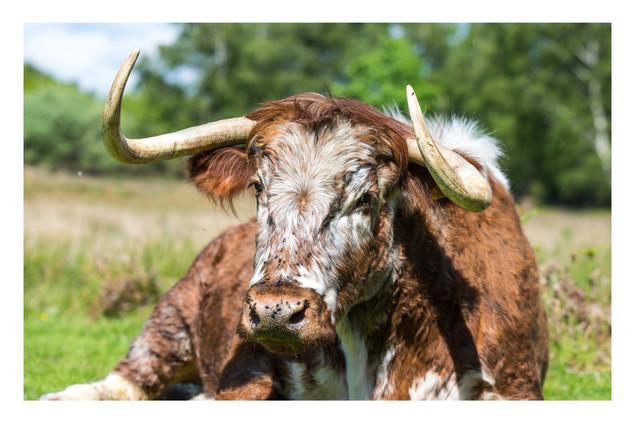 Bovine Beauty   Chailey Common