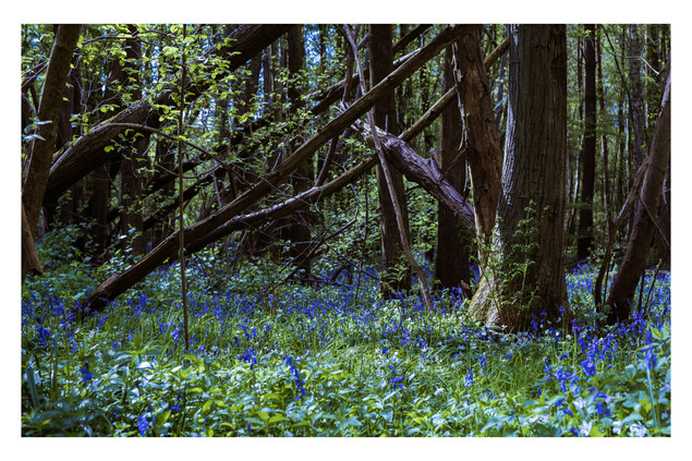 Bluebell Light Show | Sussex
