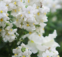 White Flowers | Cotswolds Counselling imge