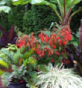 Begonia boliviensis agapanthus ensete cy