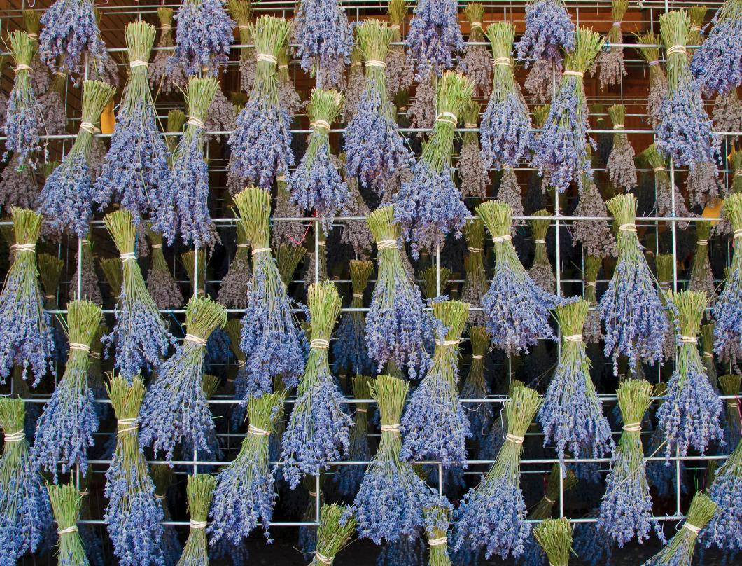 Drying lavender buldles