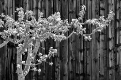 Apple tree and barnwood B+W