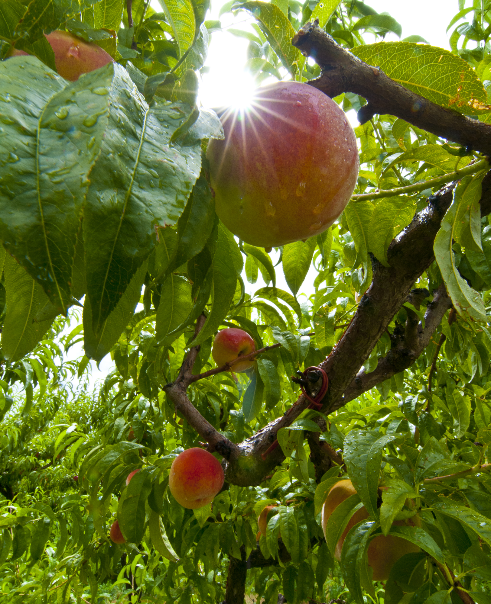 peaches after rainstorm