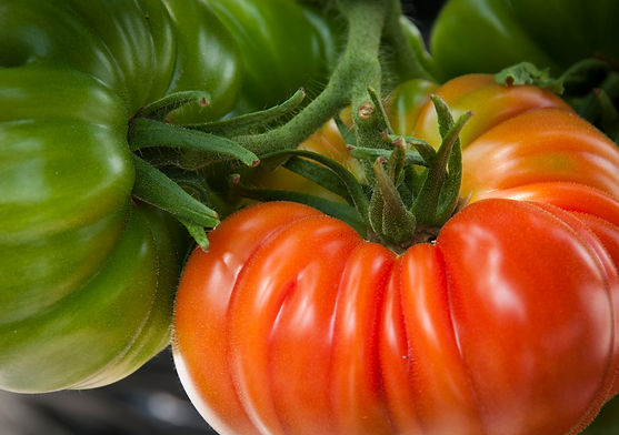 Tomatoes,pesticide free,concientiously grown