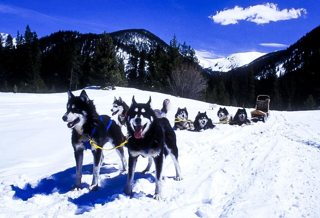 Resting dog team.