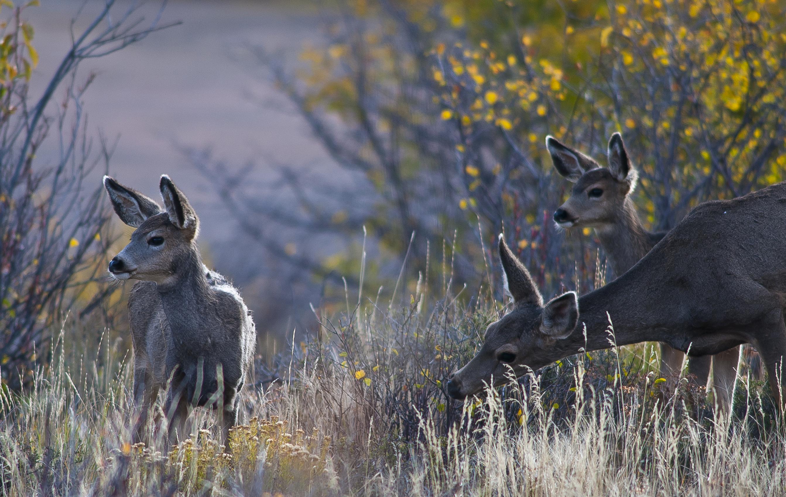 Mule deer twins