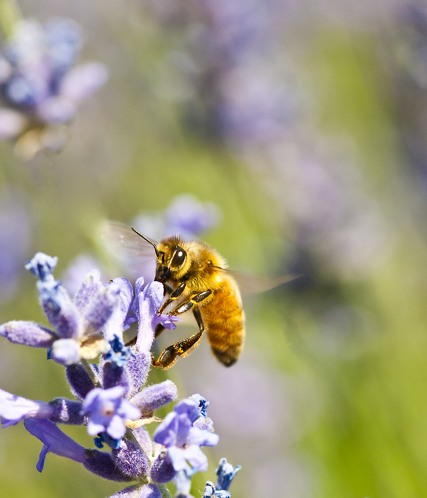 Bee and lavender1