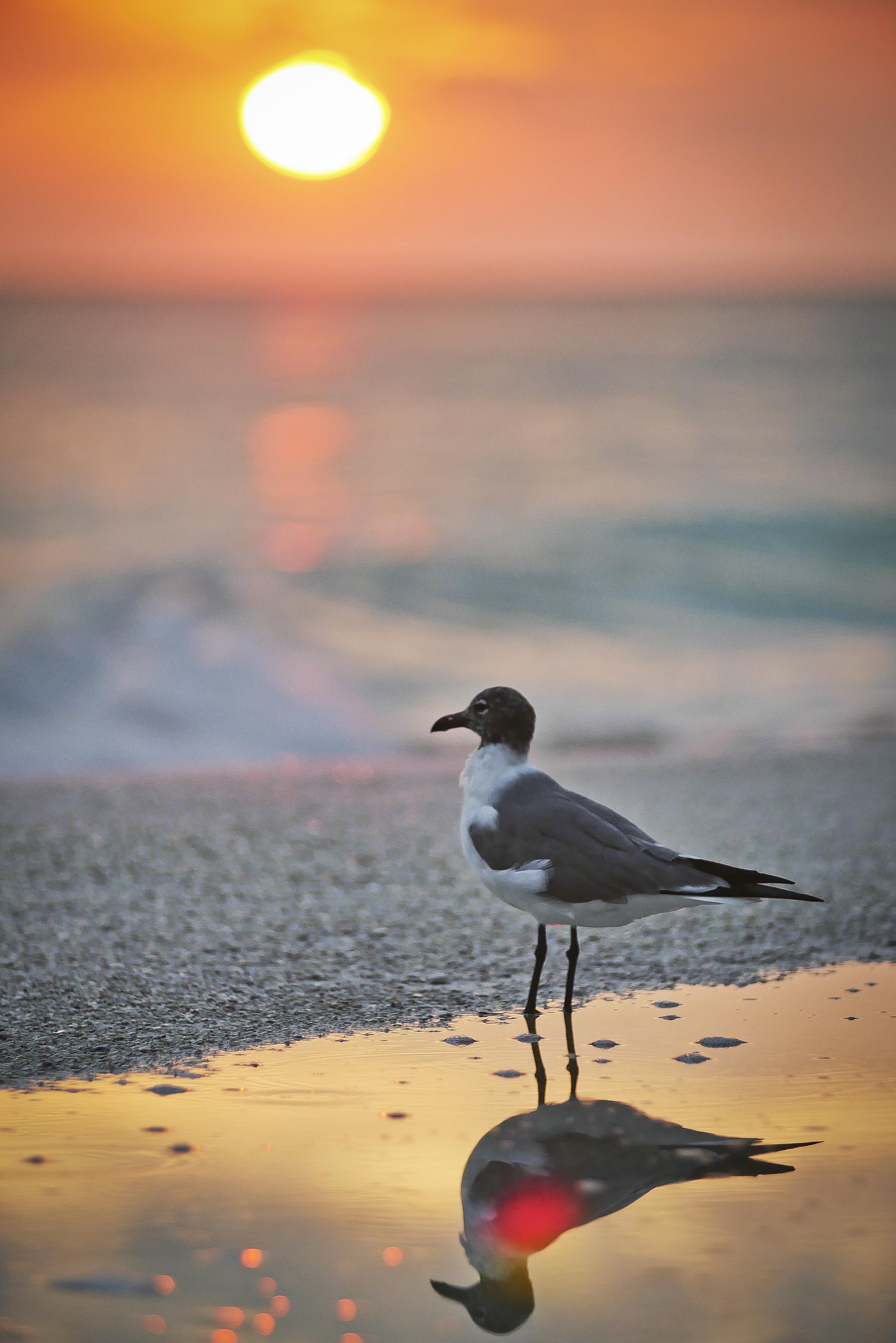 Bonaparte gull sunset reflection