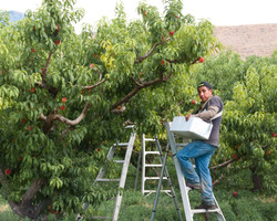 worker picking peaches
