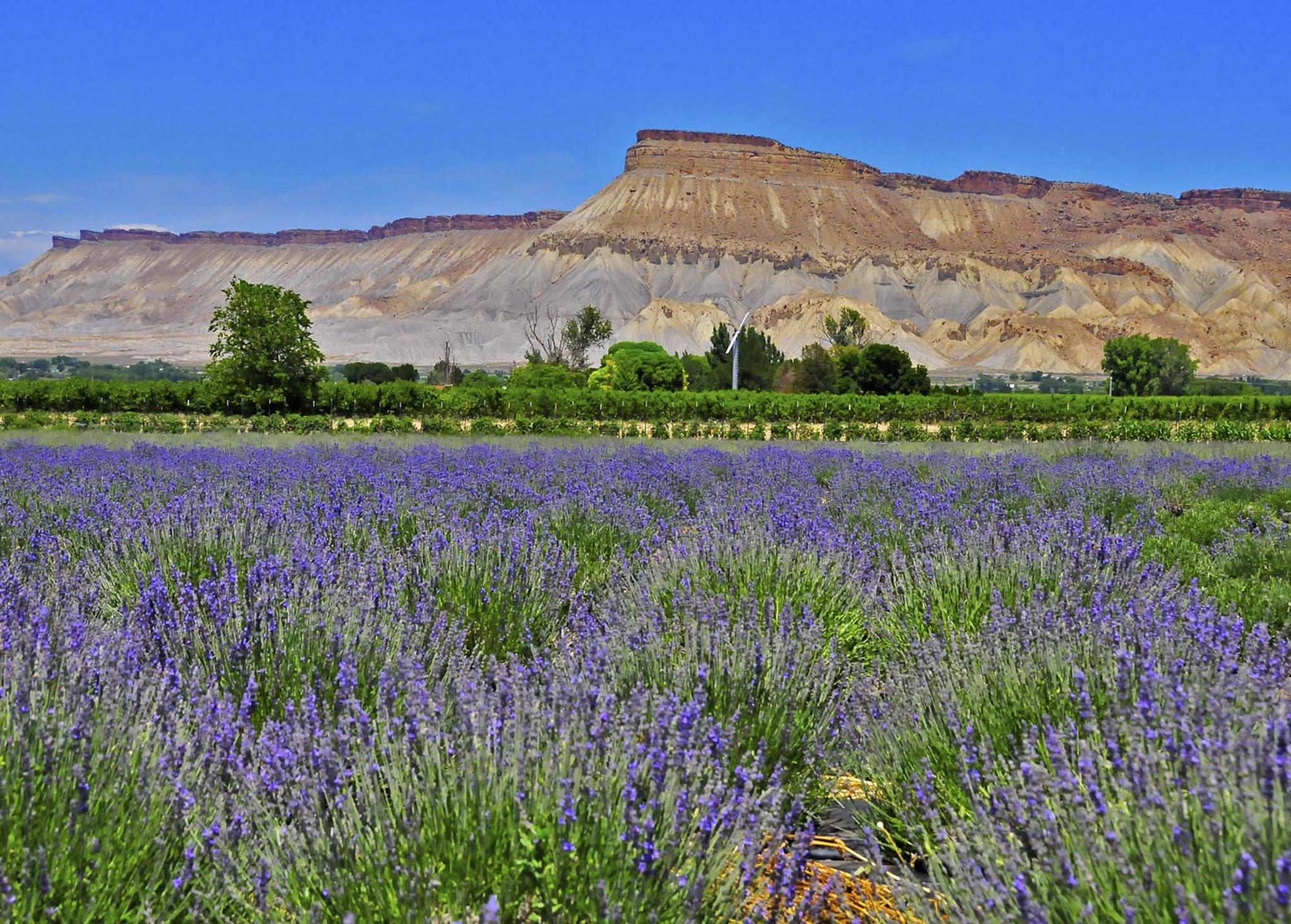 Mt Garfield Lavender