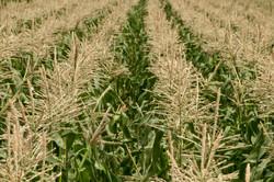 Olathe corn
