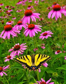 swallowtail coneflower