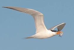 Tern in Flight AnnaMariaIslandFla 2016011