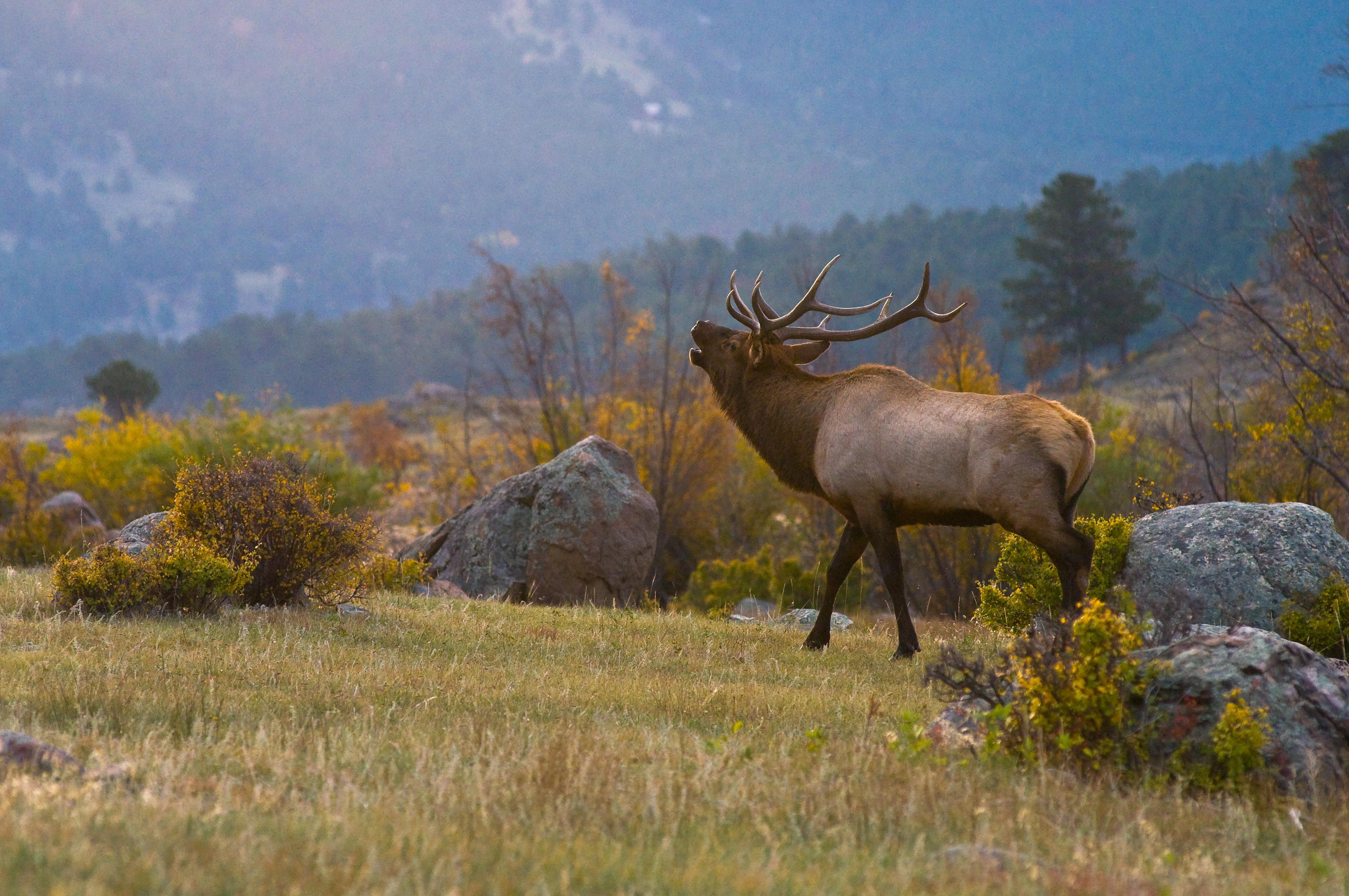 Duane's elk