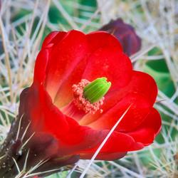 Claretcup cactus flower