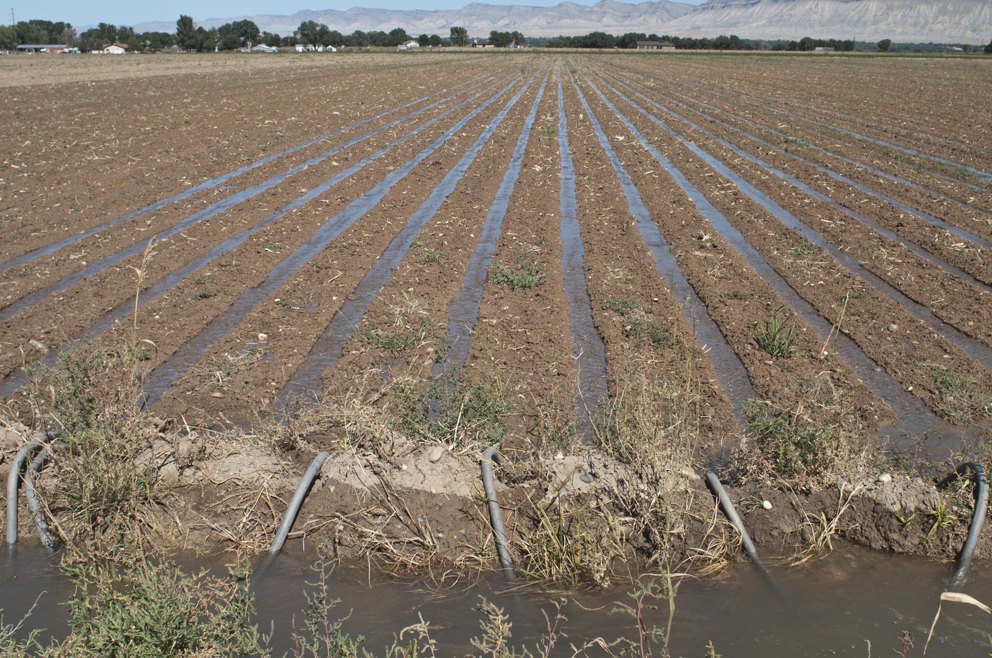 watering corn field