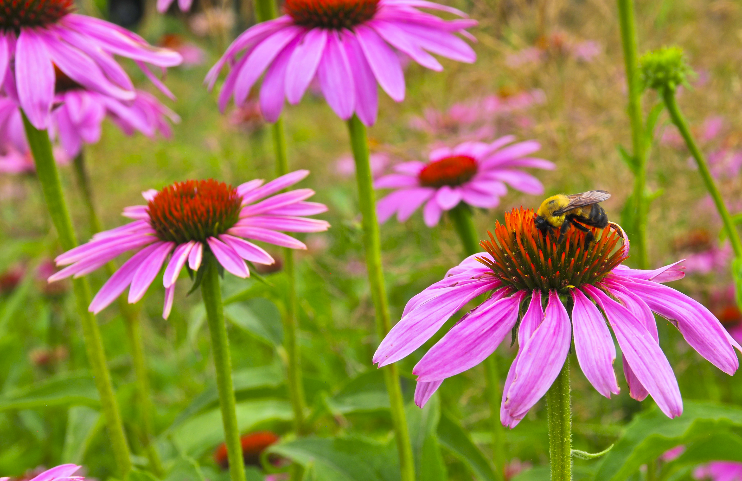 bee and coneflower (echinacia)