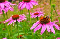 bee and coneflower (echinacia)