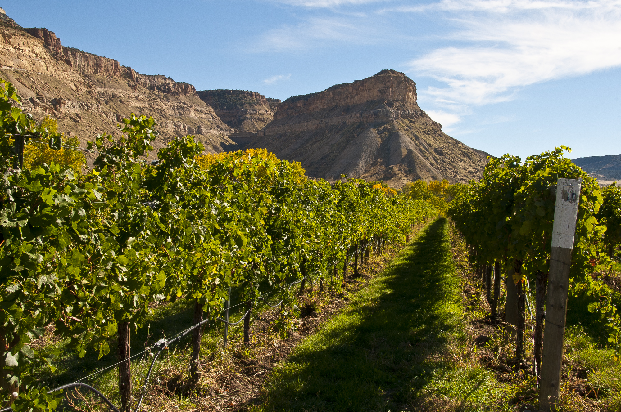 Palisade vineyard