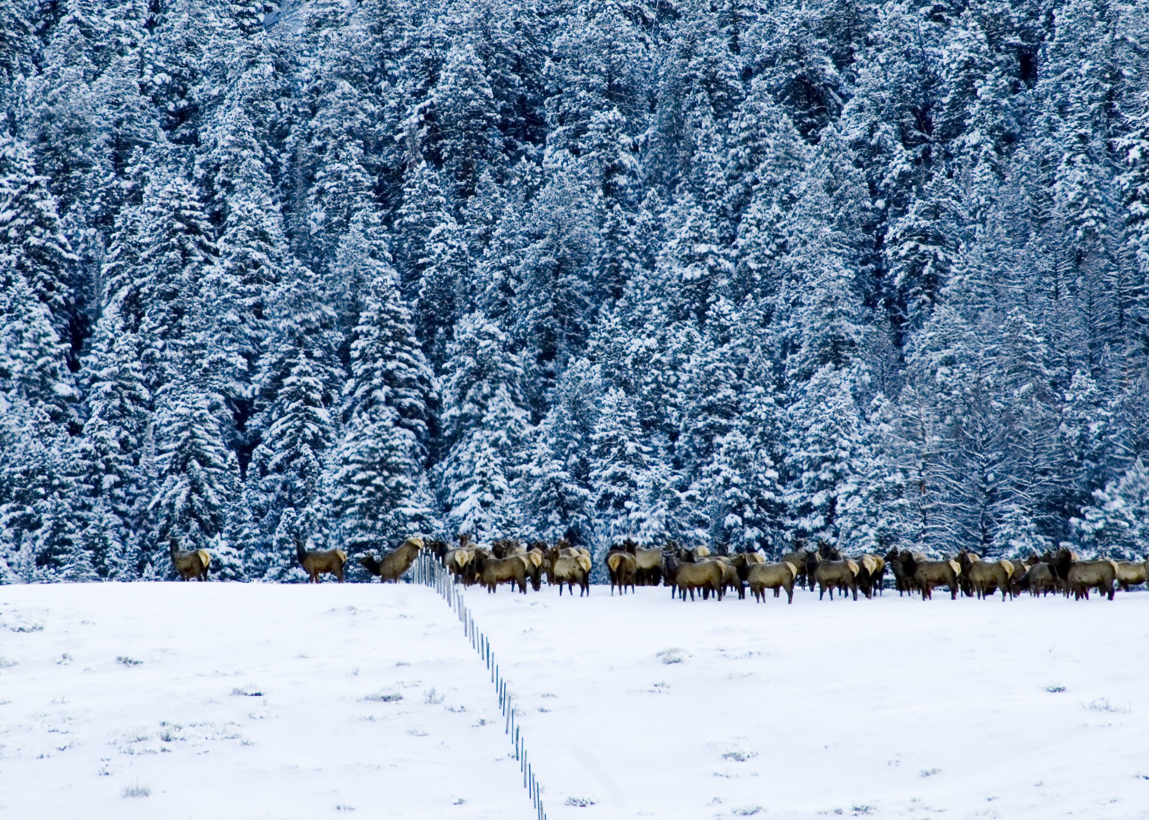 Elk fence crossing