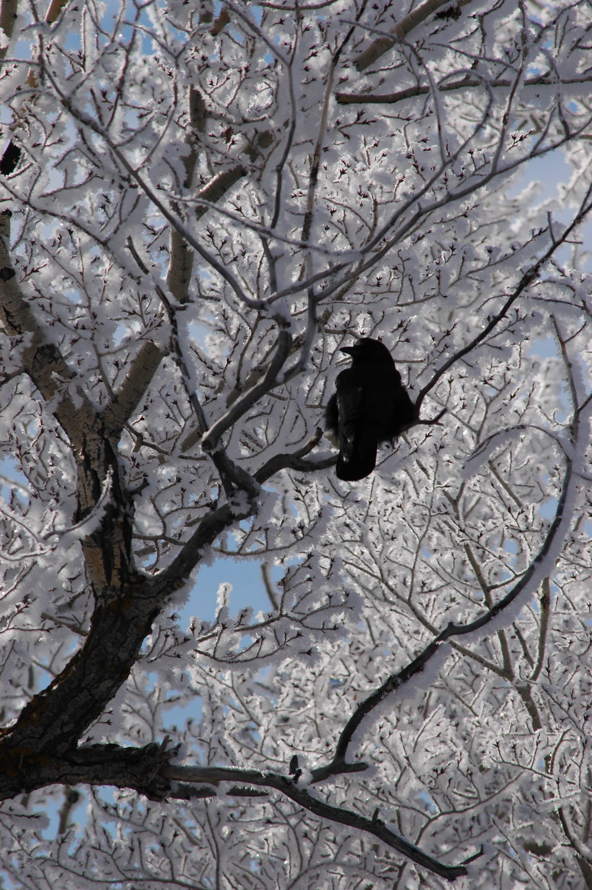 Raven's frosty roost