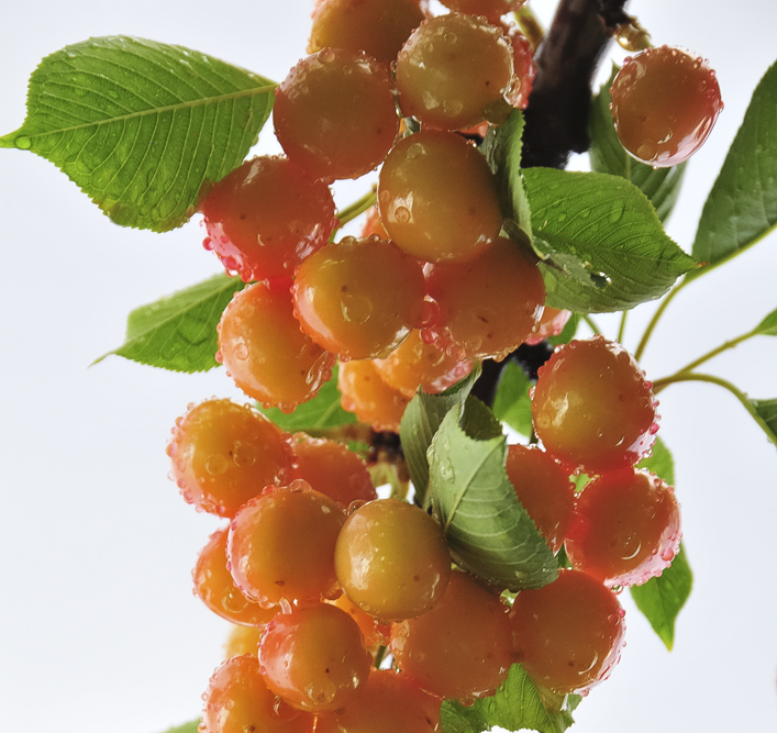 Rainier Cherry bunch