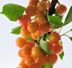 Rainier Cherry bunch