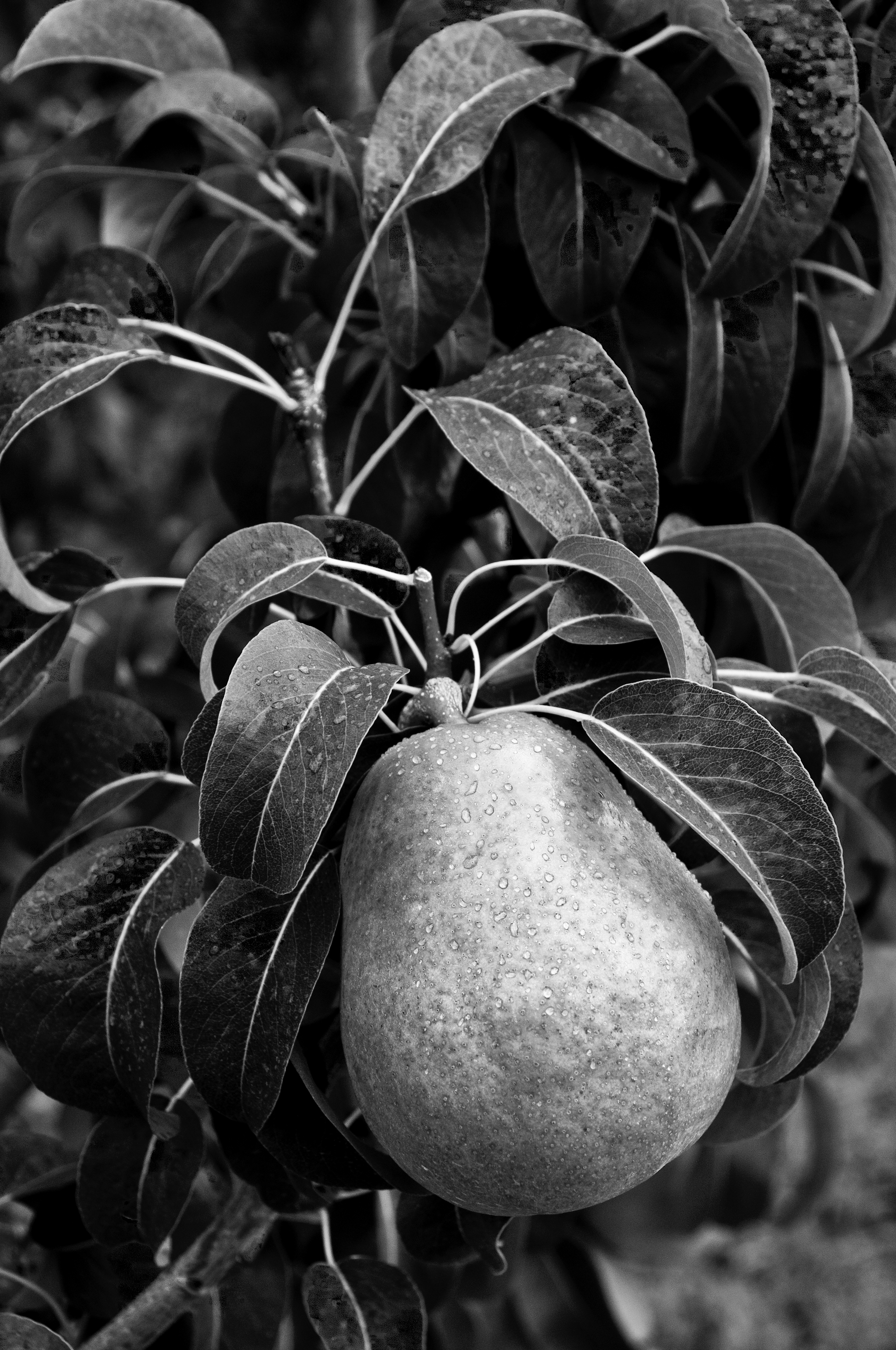 Bartlett Pear B+W