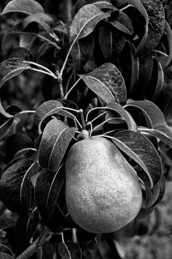 Bartlett Pear B+W