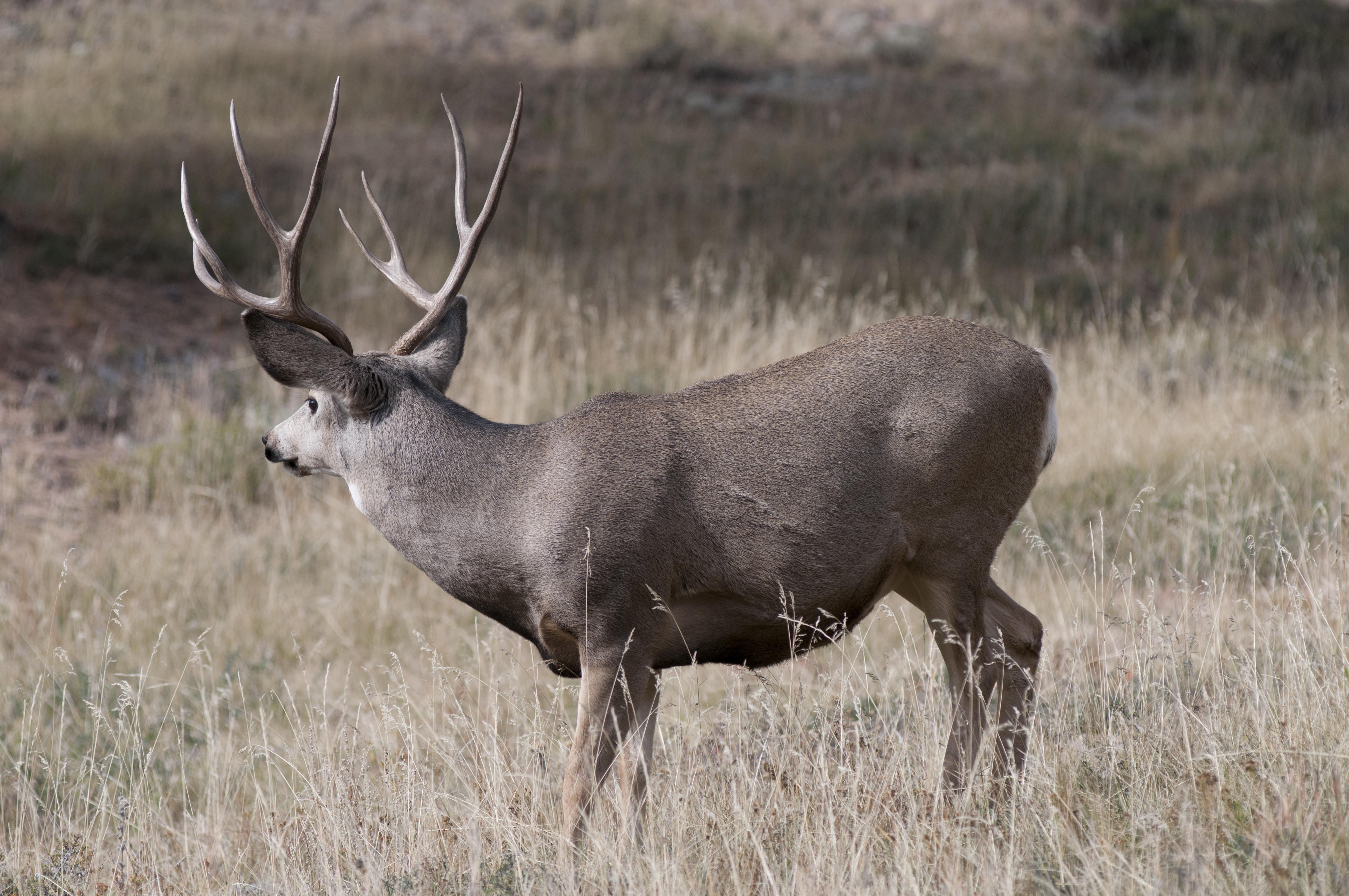 Mule Deer 4x4
