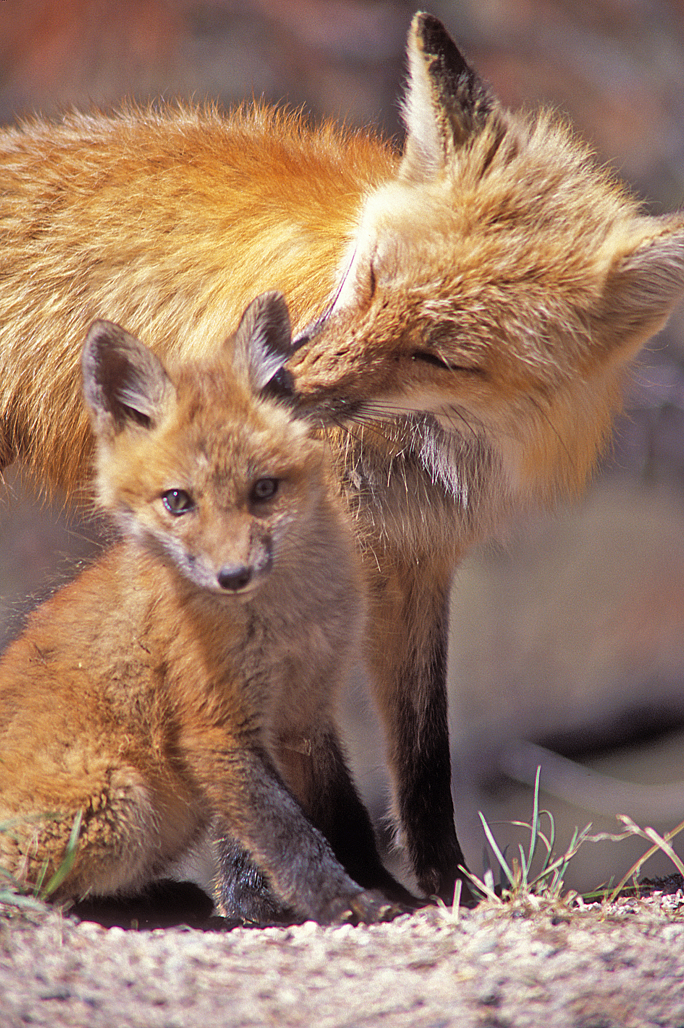 Red Fox mom and pup