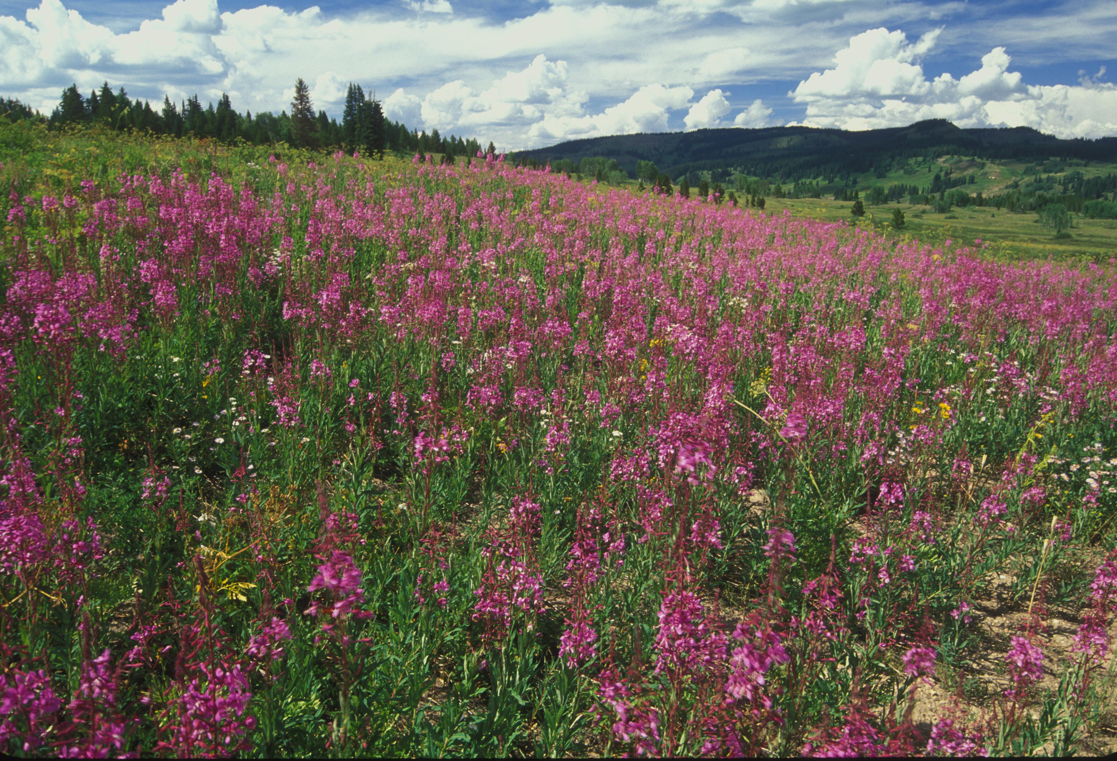 Rabbit Ears Fireweed