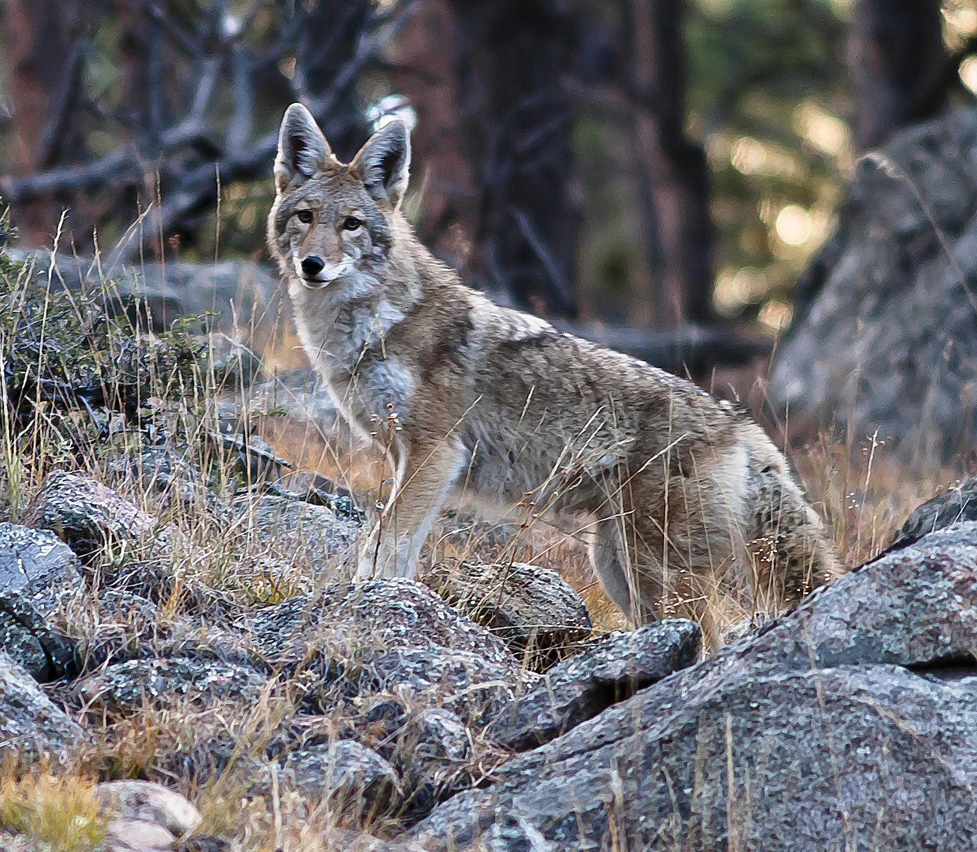 Coyote's surprise