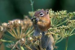 Feasting ground squirrel