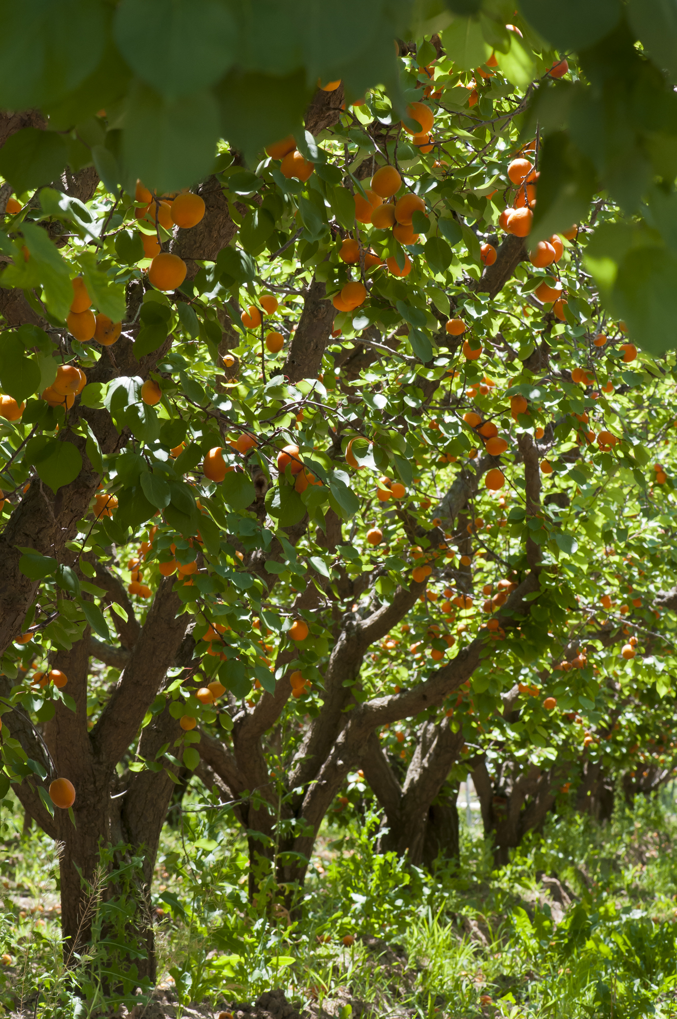 full apricot trees