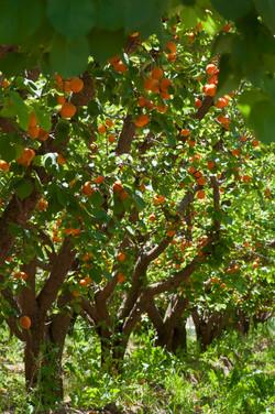 full apricot trees