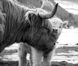 Buttercup and calf B+W
