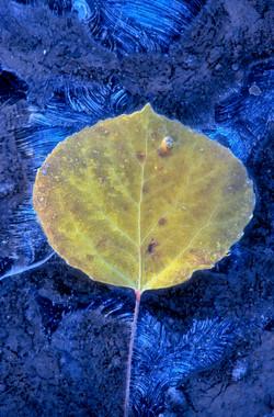 Frozen Aspen leaf