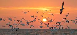 terns gulls at sunset AnnaMariaIslandFla 2016015