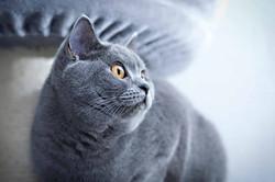Alma von Goldenwahl,bkh,BKH, Katze
