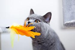 Alischa von Godenwahl BKH,bkh, Katze