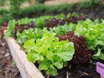 Salade variétés assorties