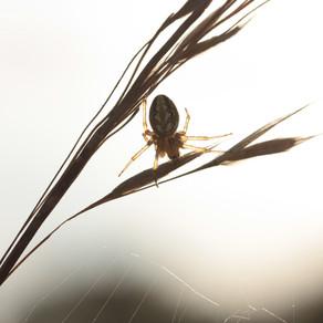 Communication animale : message de l'Araignée