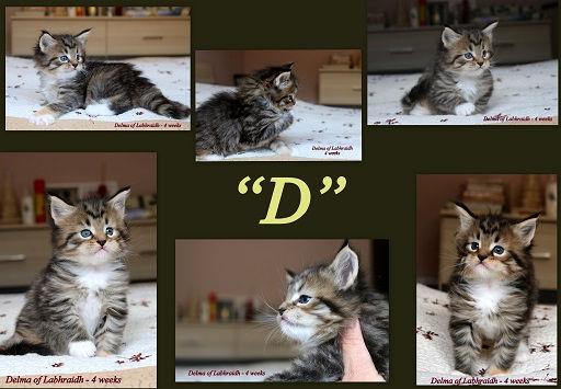 Wurf D Maine Coon of Labhraidh Kitten