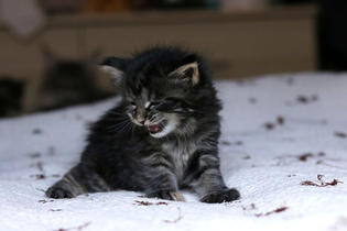 Kitten of Labhraidh