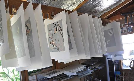 Bullfinches drying.jpg